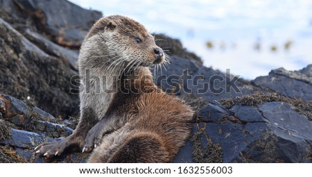 Wild otter on the Isle of Mull, Scotland.