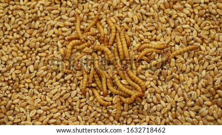 Mealworm larvae Tenebrio molitor pest worm larva white on grain wheat barley cereal, oats. Darkling beetle tight widespread parasite food warehouses flour, tray for cooking kitchen detail #1632718462