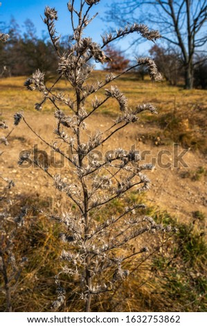 Dried dark brown plant stem standing in fall season field with vibrant blue skies. Bright daylight and dried yellow grass in the background. #1632753862