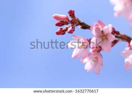 Cherry blossoms are blooming. Cherry blossoms are the symbol of spring in Japan. Spring in Japan is known for the blooming of cherry blossoms. #1632770617