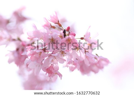 Cherry blossoms are blooming. Cherry blossoms are the symbol of spring in Japan. Spring in Japan is known for the blooming of cherry blossoms. #1632770632