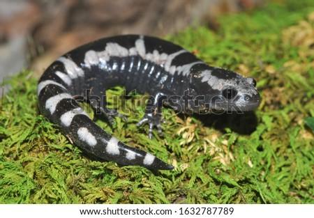 Adult Marbled salamander macro portrait on moss