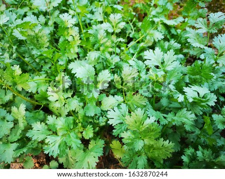 Organic thai coriander cilantro herb sprouts. Health benefits. Coriander is loaded with antioxidants. fresh green coriander leaves vegetable in a garden. fresh green coriander plant growing close #1632870244