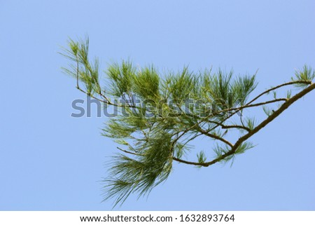 Branch of fresh green pine tree leaves, sky blue background #1632893764