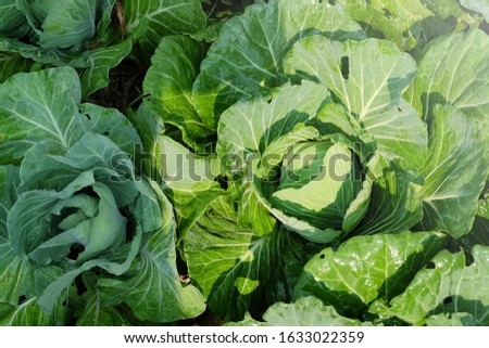 Cabbage on the ground in the morning with mild sunshine #1633022359