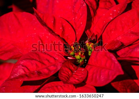 Picture of a red poinsettia