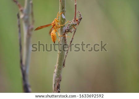 Yellow wasp and hornet are some of the deadliest insects in south Asia. The common wasp, red paper wasp, yellow potter wasp, black spider wasps are loaded with harmful sting like the bees. #1633692592