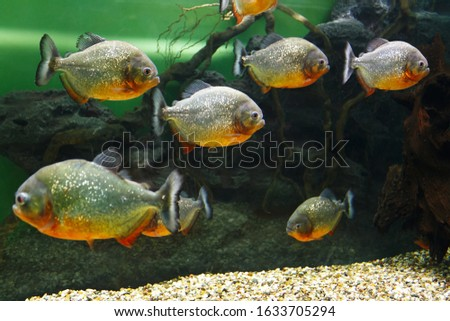 School of Red piranha (Pygocentrus nattereri), also known as the Red-bellied piranha, Red belly piranha in their habitat