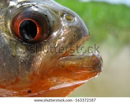 Piranha Caju (Pygocentrus natterery) Amazon Braszil