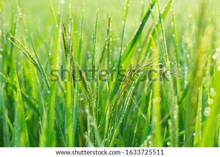 The rice grains are,Organic rice,rice in the water.View of Young rice, sprout ready to growing in the rice field  #1633725511