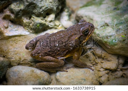 A Brown Wild Frog Stays and Submerged Half Of Its Body On Water And Rocks #1633738915