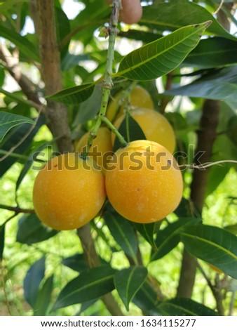 Riped GandariaorRipe plum mangofruit in Viet Nam. #1634115277