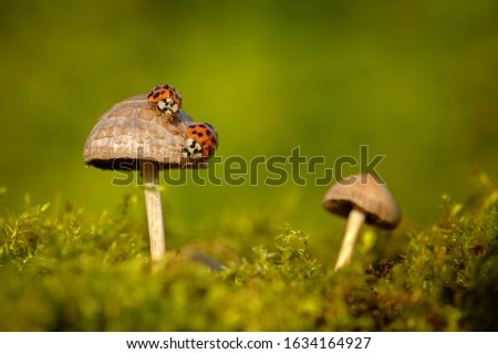 ladybugs sitting on a mushroom in the grass. Macro picture of nature
