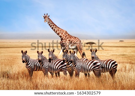 Group of wild zebras and giraffe in the African savanna against the beautiful blue sky with white clouds. Wildlife of Africa. Tanzania. Serengeti national park. African landscape. Royalty-Free Stock Photo #1634302579