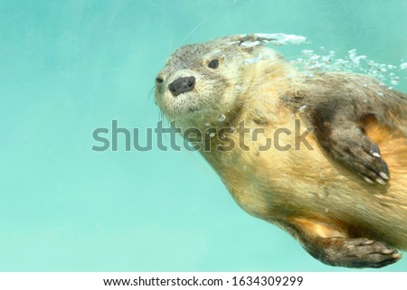Marine otter (Lontra felina), a beautiful sea otter underwater in flight, photography taken in captivity. Lima - Peru