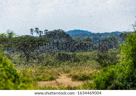 Samburu landscape viewed through swarm of invasive, destructive Desert Locusts. This flying pest is difficult to control and spreads quickly, up to 150km (90 miles) per day. Schistocerca gregaria #1634469004