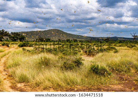 Samburu landscape viewed through swarm of invasive, destructive Desert Locusts. This flying pest is difficult to control and spreads quickly, up to 150km (90 miles) per day. Schistocerca gregaria #1634471518