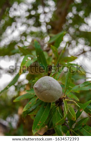 Peach fruits (Prunus persica) green on tree branches #1634572393