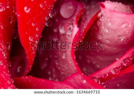 close up of red rose with water drop details, open petals and petal detail #1634669710
