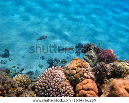Blue ocean, coral reef and tropical fish (Wrasse and Damsel). Swimming fish and corals, marine life. Underwater photography from snorkeling in shallow sea. Travel picture, ocean wildlife.