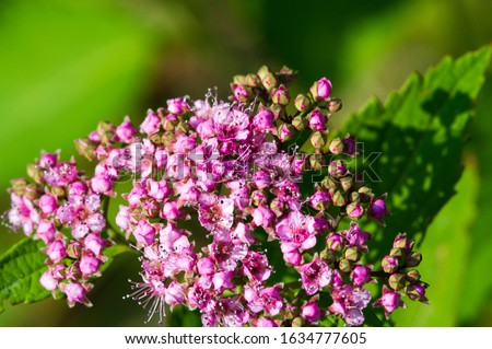 Spiraea japonica, Japanese meadow, Japanese spirea or Korean, is a plant in the family Rosaceae. Synonyms of the name of the species Spiraea bumalda #1634777605