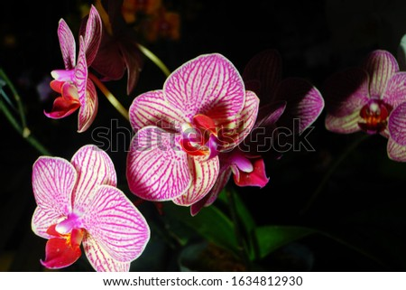 phalaenopsis orchids flowers bloom blossom home gardening isolated in black high resolution detail macro close up photography