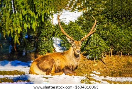 Deer lying on snowy ground. Noble deer in forest. Deer lying #1634818063