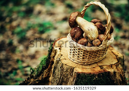 Mushrooms in basket over forest background. Picking mushrooms in the autumn forest. Summer and hobbies #1635119329