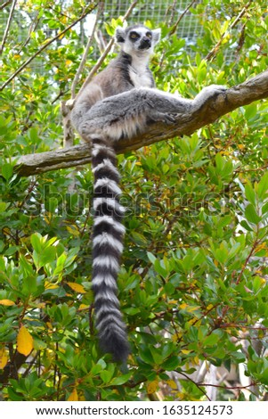 Small mammals with pointed snout large eyes and long ring tail Lemurs live in trees and are active at night They occupy different habitats dry deciduous or spiny woods rain forests wetlands mountains #1635124573