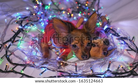 The Toy Terrier is a yellow New Year's dog. Two dogs lie ridiculously and fall asleep. They are surrounded by garlands and are dressed in children's sliders. #1635124663