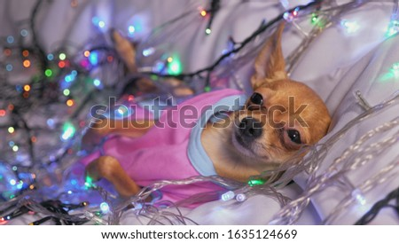 The Toy Terrier is a yellow New Year's dog. The dog lies ridiculously, looks and falls asleep. She is surrounded by garlands and dressed in baby sliders. #1635124669