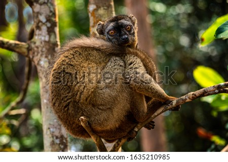 The red-fronted lemur (Eulemur rufifrons), also known as the red-fronted brown lemur or southern red-fronted brown lemur, is a species of lemur from Madagascar.