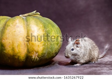 Degu squirrel near green pumpkin, halloween picture, new rat year