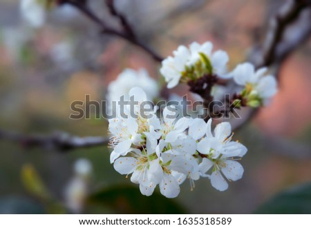 Close-up of white pear blossom, plum blossom, peach blossom with blurred background #1635318589