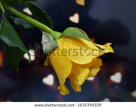 Beautiful picture of yellow rose , valentine day , rose day .