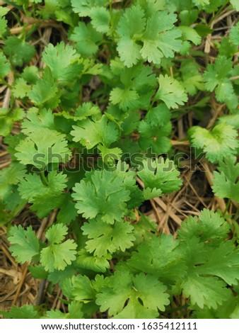 Coriander organic from Organic farm, Thailand. #1635412111