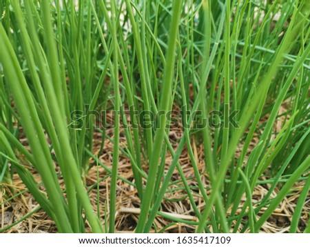 Spring onion organic from Organic farm, Thailand. #1635417109