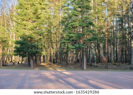 Beautiful pine forest pine park with pines, firs and birches in a sunny day with hard shadows and sunlight, lots of green trees #1635429286