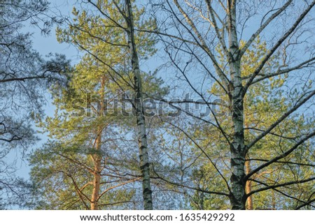 Beautiful pine forest pine park with pines, firs and birches in a sunny day with hard shadows and sunlight, lots of green trees #1635429292