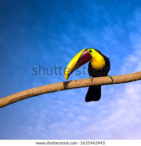 A Black-mandibled toucan (or Chestnut mandibled toucan - Ramphastos ambiguus), subspecies of the yellow-throated toucan sitting in the sunlight, Costa Rica in the jungle of Ojochal and Uvita in Costa
