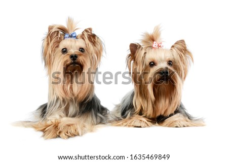 Studio shot of two adorable Yorkshire Terriers lying and looking curiously at the camera