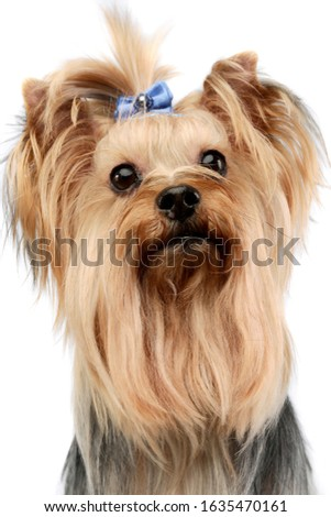 Portrait of an adorable Yorkshire Terrier yorkie looking up curiously with cute ponytail