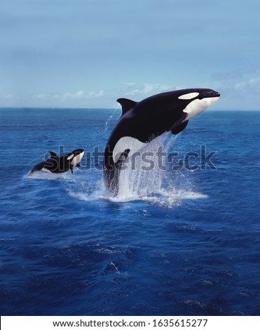KILLER WHALE orcinus orca, MOTHER AND CALF LEAPING   #1635615277