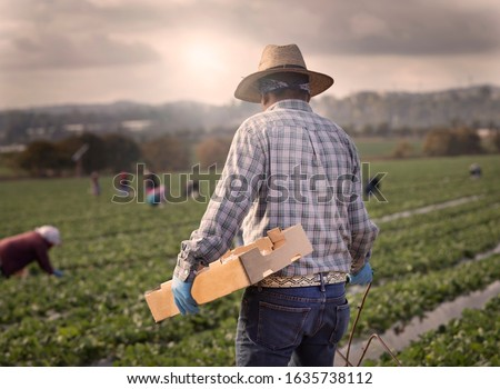 Male field worker with straw hat at strawberry farm walking with box for picking with other workers in the distance in morning haze. #1635738112