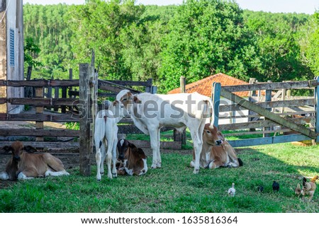 Nellore cattle (Bos taurus indicus) trapped in the farm's corral. #1635816364