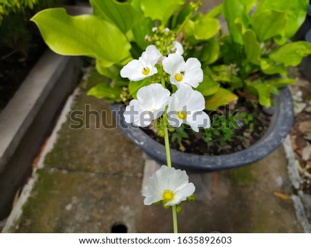 echinodorus palaefolius or mexican sword plant. it from brazil and mexico. aquatic plant with very long thin leaf-stalks and spear shaped leaf blades. flowers are white, 3 petalled. #1635892603