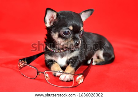 Adorable short-haired black and tan miniature Chihuahua puppy with eyeglasses on red background. The puppy is 1,5 month old on the picture
