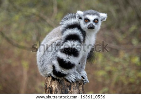 Close up of a male Ring-Tailed Lemur (Lemur catta) #1636110556