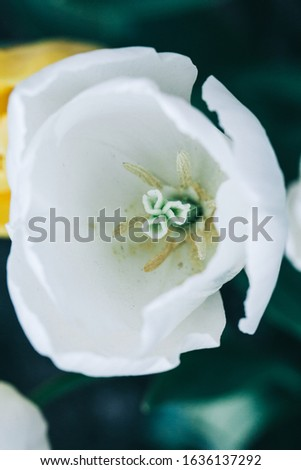 Beautiful white flower tulip close-up. Abstract background. Flower background, garden flowers. #1636137292
