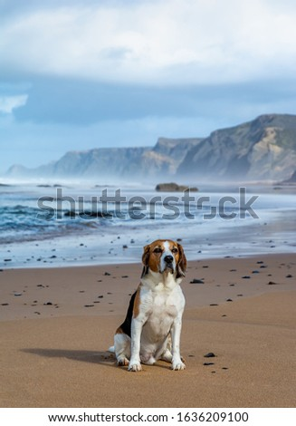 Cute portrait of a beagle dog sitting on the idyllic sandy beach near calm ocean. Soft sunset light, mist, rocks and cliffs. Picture full of calmness and relax. Pet is front posed, with copy space. #1636209100